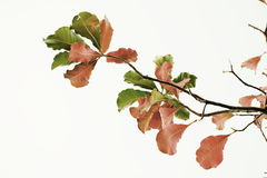 Leaves in red and green in white background. Leaves colors in white background Stock Images