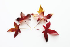Leaves of red gum tree (Liquidambar) Royalty Free Stock Photo