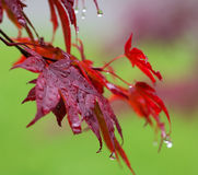 Leaves of red Japanese-maple Acer japonicum with water drops a. Fter rain. Close-up view Royalty Free Stock Photography