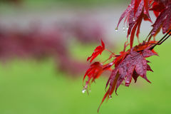 Leaves of red Japanese-maple Acer japonicum with water drops a. Fter rain on green natural background Stock Photos