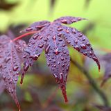 Leaves of red Japanese-maple Amur maple with water drops Royalty Free Stock Photos