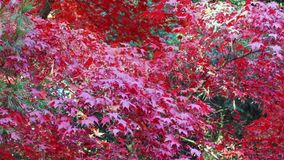 Leaves of red japanese maple stock video footage