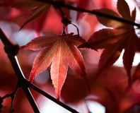 Leaves of red maple in forest Royalty Free Stock Images