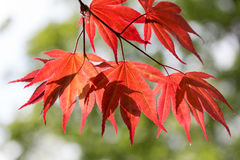 Leaves of red maple in the forest Stock Photos