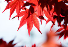 Leaves of red maple in forest Stock Photo