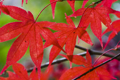 Leaves Red Maple hor Royalty Free Stock Image