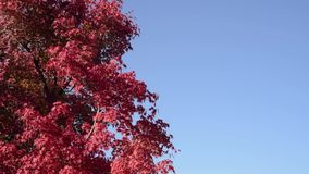 Leaves of red maple trees swaying in the cloudless blue sky and wind. stock video