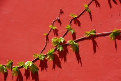 Leaves on the red wall Stock Image