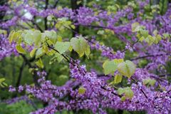 Leaves on redbud tree Stock Images