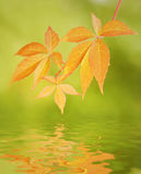 Leaves reflected in water Stock Image