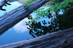 Leaves reflecting in still water Royalty Free Stock Photos