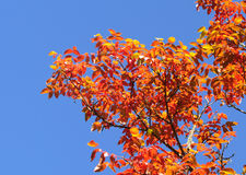Leaves revealing the beautiful autumnal colours Stock Photography