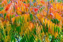 Leaves of rhus typhina known commonly as staghorn sumac in red, yellow and green colors. Stock Photography