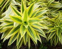 Leaves of ribbon plant royalty free stock photography