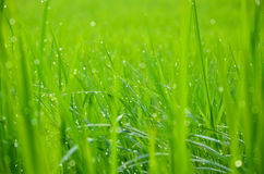 Leaves of rice. Royalty Free Stock Photography