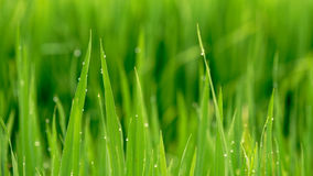 Leaves of rice with dew in Sa Pa valley royalty free stock image