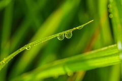 Leaves of rice with drops of dew Stock Image