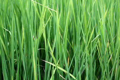 Leaves of rice Stock Image
