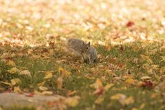 Fall and squirrels are inseparable stock photo