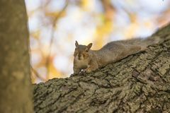 Fall and squirrels are inseparable royalty free stock photos
