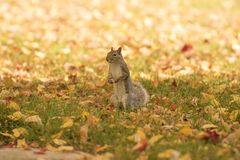 Fall and squirrels are inseparable stock photos