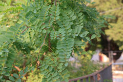 Leaves of Robinia. A genus of flowering plants in the family Fabaceae, subfamily Faboideae Stock Image