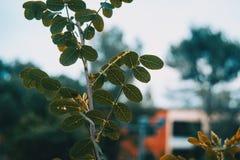 Leaves of robinia pseudoacacia. In nature Stock Photo