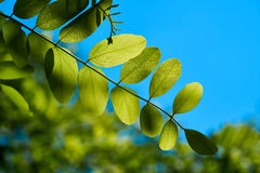 Leaves of a robinia. In spring Stock Image