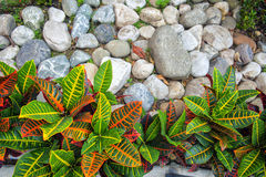 Leaves with rocks. Photo of colorful plants in Floridablanca, Colombia Royalty Free Stock Photo