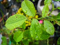 Leaves on Rose Plant with Water Droplets Royalty Free Stock Photo