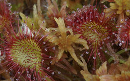 Leaves of Round-Leaved Sundew Royalty Free Stock Image