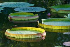 Leaves of royal water lily Stock Photography