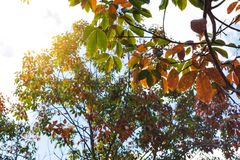The leaves of the rubber trees are changing color. Royalty Free Stock Images