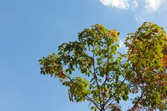 The leaves of the rubber trees are changing color. Stock Photography