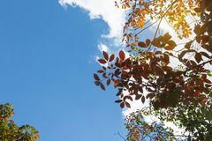 The leaves of the rubber trees are changing color. Royalty Free Stock Photo