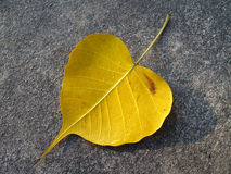 Yellow bodhi leaf with drops of water on temple concrete floor. Leaf of tree where Buddha sat attained enlightenment in the night Royalty Free Stock Image
