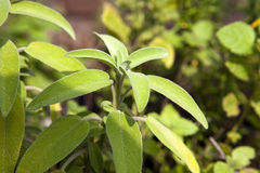 Leaves of sage Royalty Free Stock Photography