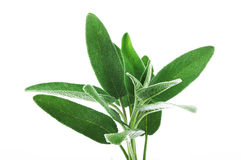 Leaves of sage Stock Images