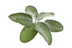 Leaves of sage Stock Image