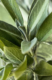 Leaves of sage & x28;salvia& x29; Royalty Free Stock Image