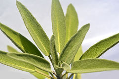 Leaves sage tea Royalty Free Stock Photos