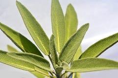 Leaves sage tea Royalty Free Stock Photos