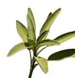 Leaves sage tea Stock Photography