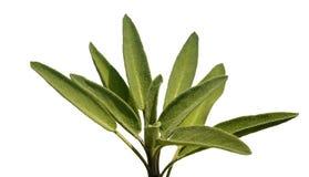 Leaves sage tea Stock Images