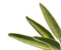 Leaves sage tea Stock Photo