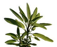 Leaves sage tea Stock Image