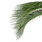 Leaves of sago cycas Stock Images