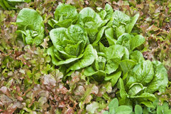 Leaves of salad in a garden Royalty Free Stock Photo