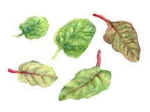 Leaves of salad. Watercolor Stock Photography
