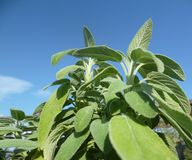 Leaves of salvia, sage in soft sunlight. background. Salvia, sage growing on blue sky background royalty free stock photography